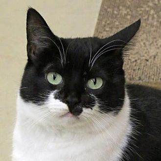 Domestic Shorthair Cat for adoption in Morgan Hill, California - Pollyanna