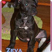 Adopt A Pet :: Zeva - Toledo, OH