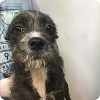 Adopt A Pet :: Schnauzer mix girls - Pompton Lakes, NJ