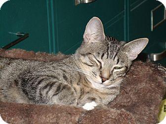 Domestic Shorthair Cat for adoption in Scottsdale, Arizona - Garcia