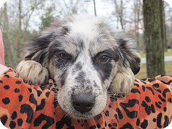 Australian Shepherd Mix Puppy for adoption in Spring Valley, New York - Kylie