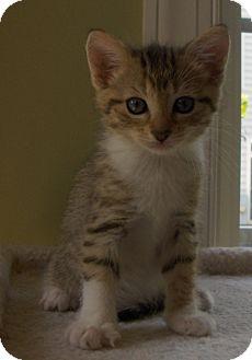 Domestic Shorthair Kitten for adoption in Richmond, Virginia - Almond