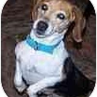 Adopt A Pet :: Shiloh Jane - Phoenix, AZ