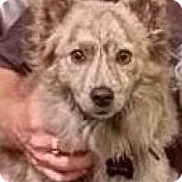 Adopt A Pet :: Hamilton NJ - Nacho - New Jersey, NJ