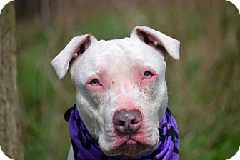American Bulldog/American Pit Bull Terrier Mix Dog for adoption in New York, New York - Frank