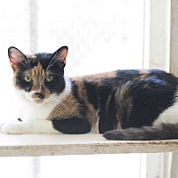 Domestic Shorthair Cat for adoption in Houston, Texas - Lady Argyle