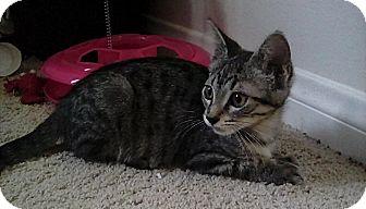 Domestic Shorthair Cat for adoption in Pasadena, California - Cookie