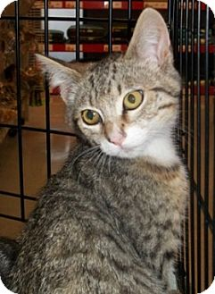 Domestic Shorthair Kitten for adoption in Castro Valley, California - Scarlett