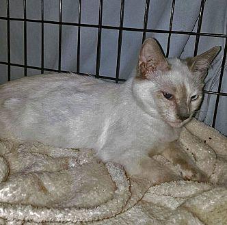 Siamese Kitten for adoption in Monrovia, California - Vanilla