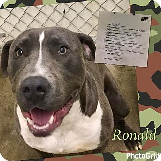 Pit Bull Terrier Mix Dog for adoption in California City, California - Ronald