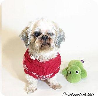 Shih Tzu Dog for adoption in San Diego, California - Callisto