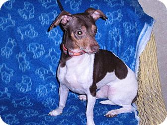 """Chihuahua/Dachshund Mix Dog for adoption in New Castle, Pennsylvania - """" Geppetto """""""
