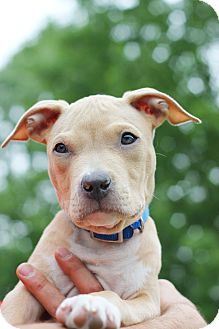 American Pit Bull Terrier Mix Puppy for adoption in Reisterstown, Maryland - Benny