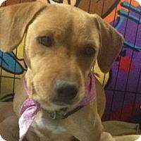 Adopt A Pet :: Dumplin' - Marlton, NJ