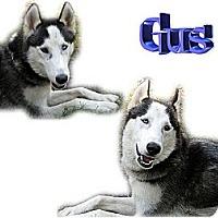 Adopt A Pet :: Gus - Seminole, FL