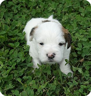 Cocker Spaniel/Shih Tzu Mix Puppy for adoption in Seneca, South Carolina - Lance $250