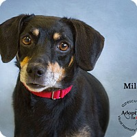 Adopt A Pet :: Miles - Phoenix, AZ