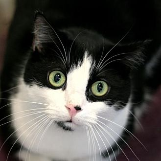 Domestic Shorthair Cat for adoption in Raleigh, North Carolina - Hampton