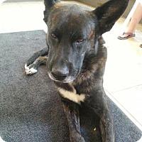 Adopt A Pet :: Boomer - Toledo, OH