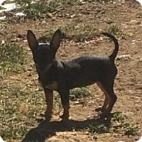 Adopt A Pet :: Starr  3 1/2 Months - C/S & Denver Metro, CO