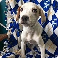 Adopt A Pet :: Calipari - Newport, KY