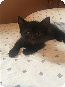 Domestic Shorthair Kitten for adoption in Mount Laurel, New Jersey - Sunshine