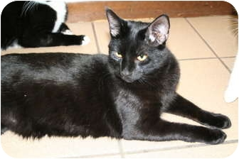 Domestic Shorthair Cat for adoption in Naples, Florida - Piccolo