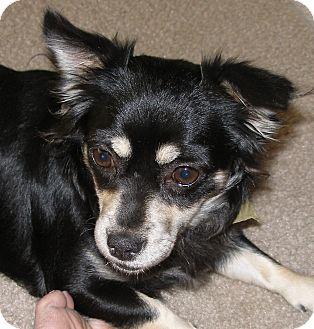 Chihuahua/Sheltie, Shetland Sheepdog Mix Dog for adoption in Santa Ana, California - Pebbles