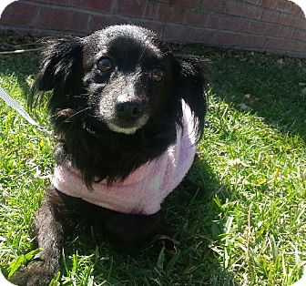 Papillon/Chihuahua Mix Dog for adoption in Irvine, California - Macy, sweet!