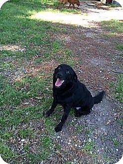 Labrador Retriever/Catahoula Leopard Dog Mix Dog for adoption in Baton Rouge, Louisiana - Cam