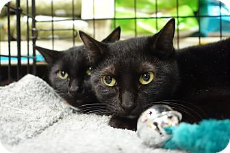 Domestic Shorthair Cat for adoption in College Station, Texas - Hershey