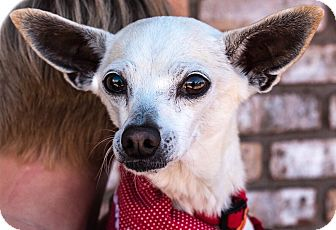 Italian Greyhound/Chihuahua Mix Dog for adoption in San Marcos, California - Blondie