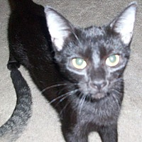Domestic Shorthair Kitten for adoption in Morriston, Florida - EMILIA