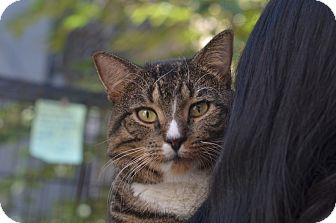 American Shorthair Cat for adoption in Brooklyn, New York - Loops!