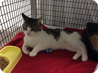 Domestic Shorthair Cat for adoption in Janesville, Wisconsin - Finnegan
