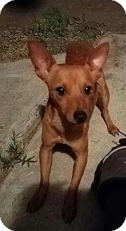 Miniature Pinscher Mix Dog for adoption in Fullerton, California - Rusty