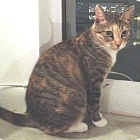 Domestic Shorthair Cat for adoption in Miami, Florida - Betty