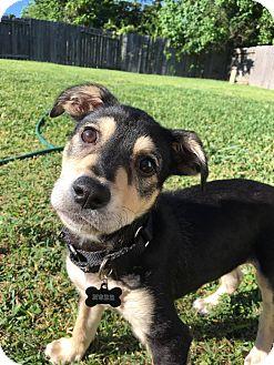 German Shepherd Dog/Labrador Retriever Mix Puppy for adoption in Baltimore, Maryland - Lobo