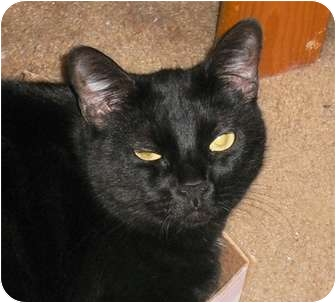 Domestic Shorthair Cat for adoption in lake elsinore, California - Sophia