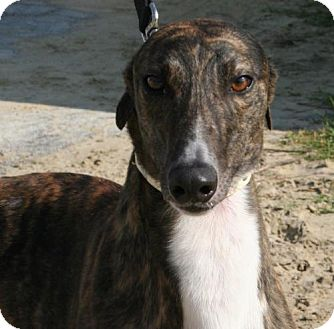 Greyhound Dog for adoption in Knoxville, Tennessee - Jane