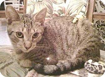 Domestic Shorthair Kitten for adoption in Miami, Florida - Twilight