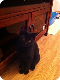 Domestic Shorthair Cat for adoption in Island Park, New York - Midnight