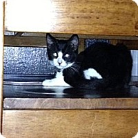 Domestic Shorthair Kitten for adoption in Monrovia, California - Shadow