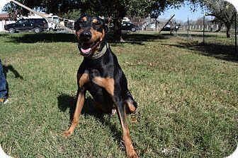 Doberman Pinscher Mix Dog for adoption in McAllen, Texas - Bonnie