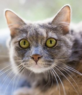 Domestic Mediumhair Cat for adoption in Auburn, California - Muffin