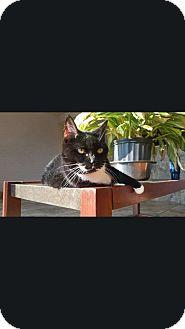 Domestic Shorthair Cat for adoption in Parkton, North Carolina - Fuzz