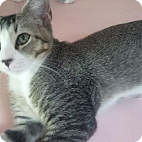 Adopt A Pet :: Alistair Special Kat - Westerly, RI