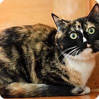 Adopt A Pet :: Calypso Spirit Cat - Brimfield, MA