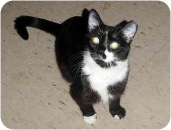 Domestic Shorthair Kitten for adoption in Hamilton, Ontario - Penny