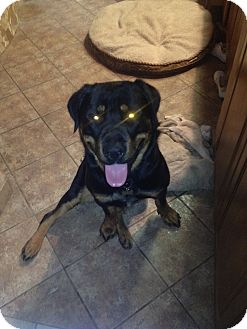 Rottweiler Dog for adoption in Gilbert, Arizona - Warrior